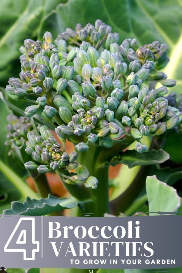 "Close up of broccoli head with text, ""4 broccoli varieties to grow in your garden"""