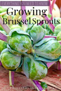 """Brussel sprouts on plant with text, """"Everything you need to know growing brussel sprouts"""""""