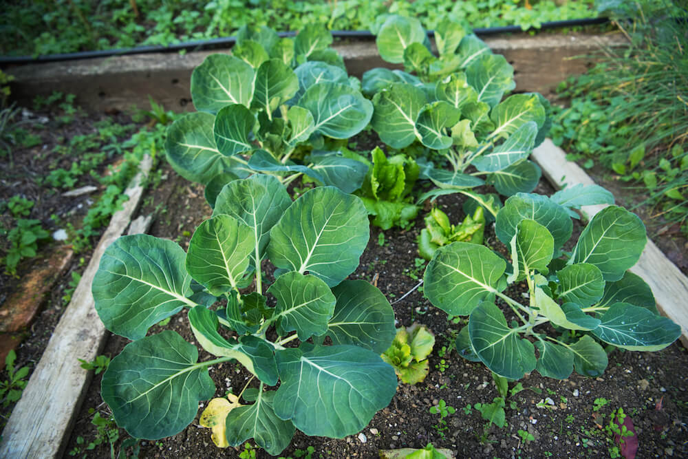 Brussels Sprouts Plants Growing in Garden Bed