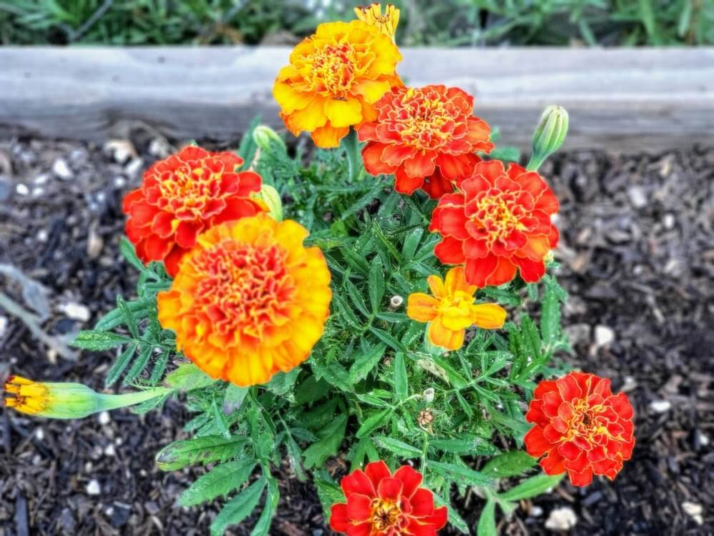 Yellow, red, and orange marigolds growing in the garden.