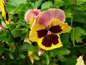yellow and pink pansies growing in the garden