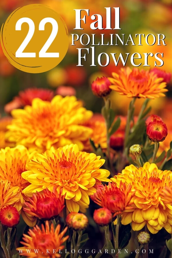 "Fall mums with text, ""22 fall pollinator flowers"""