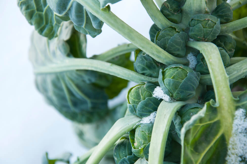 brussels sprouts on field covered snow