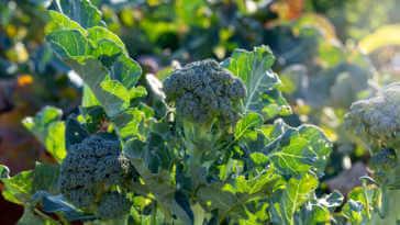Broccoli growing in garden