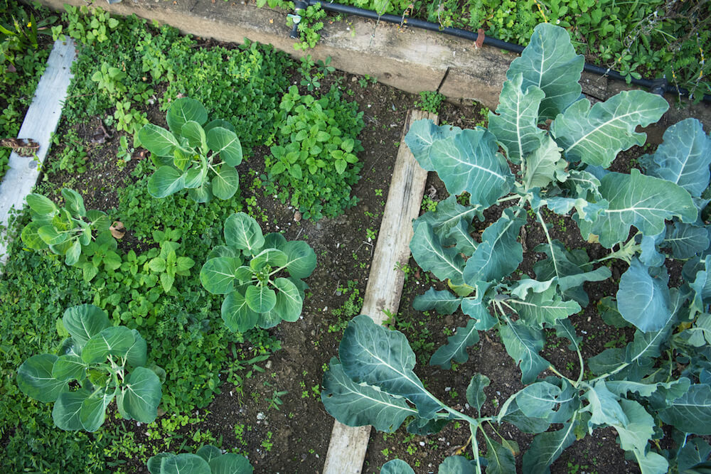 Growing Broccoli in raise beds