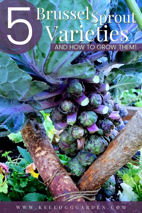 """Growing purple brussel sprouts in the garden with text, """"5 varieties of brussel sprouts and how to grow them"""""""
