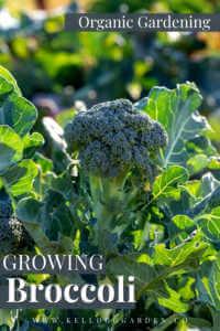 "Broccoli grown in the garden with text, ""Organic garden growing broccoli"""
