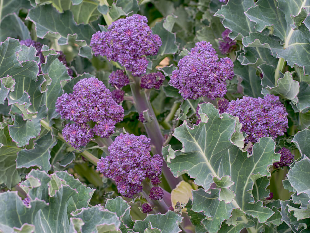 Purple sprouting broccoli - fresh greens in the garden.