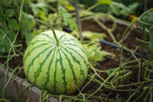 Watermelon growing in garden