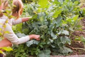 Woman harvesting broccoli