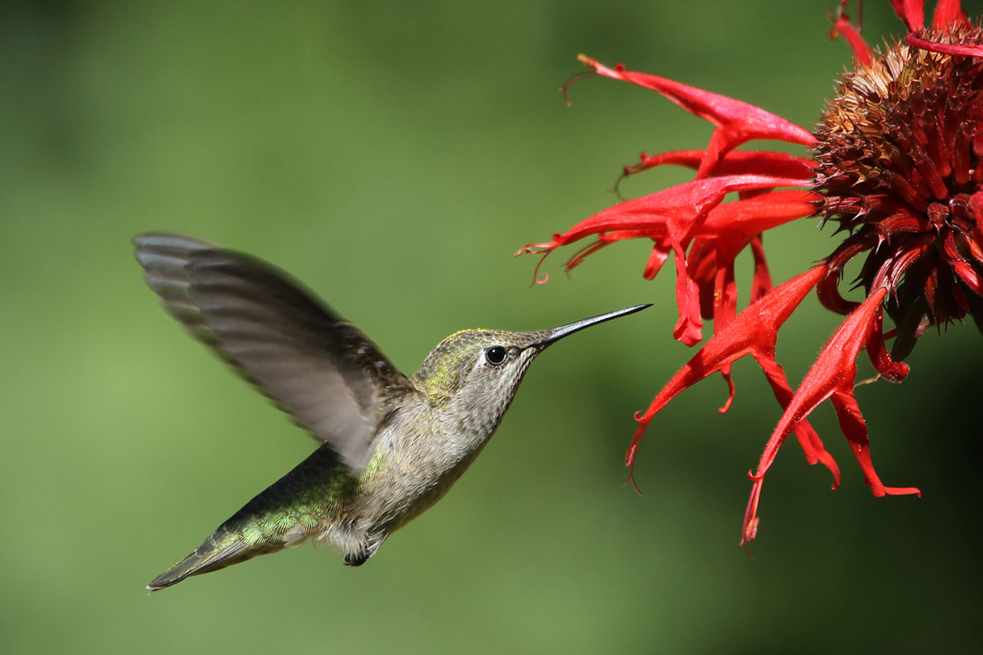 A hummingbird feeds on a red bee balm blossom..