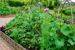 Vegetable garden with lush greenery and pink flowers.