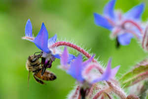 Be sitting on borage flower.