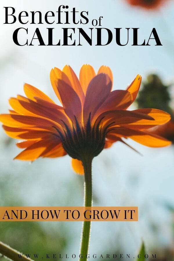 "Orange calendula with text, ""Benefits of Calendula and how to grow it"""