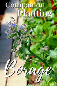 """Borage growing in a garden with text, """"Companion Planting Borage"""""""