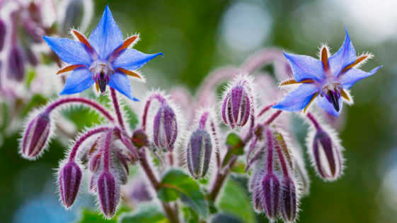 Blooming and budding borage flowers.