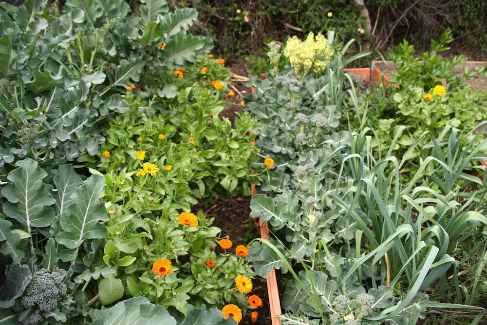 Calendula and lettuce varieties growing in garden beds.