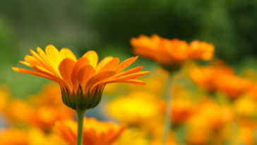 Orange calendulas growing in a field.