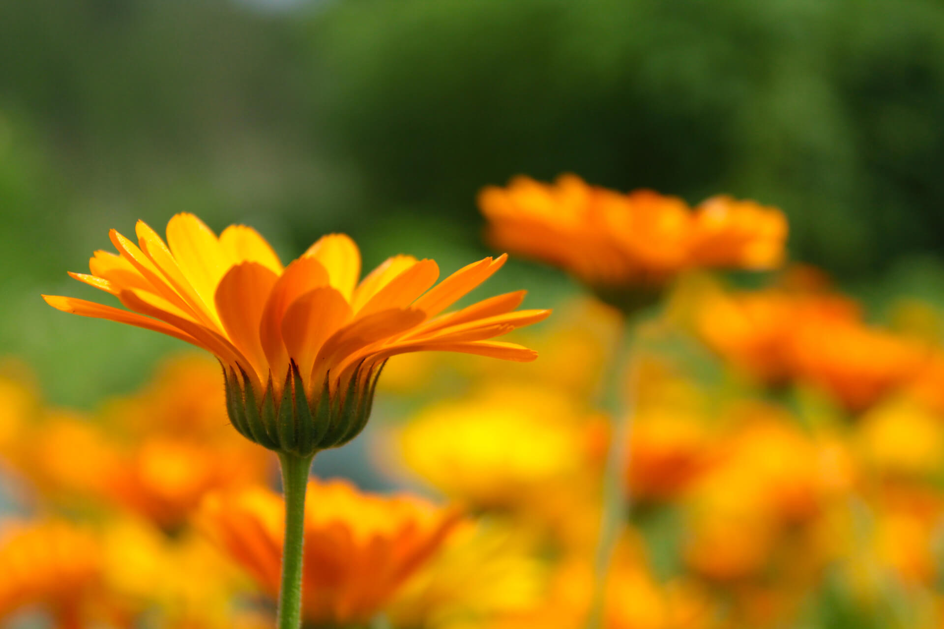 Orange calendulas growing in a field.
