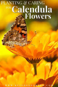 """Butterfly sitting on an orange calendula flower with text, Planting and caring for calendula flowers"""""""