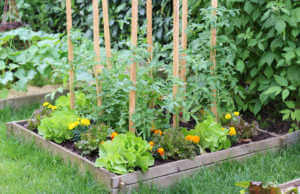 Marigolds growing in a raised bed with lettuce.