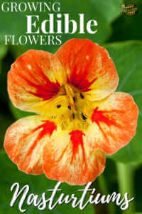 """Close up picture of a Nasturtium with text, """"Growing edible flowers, Nasturtiums"""""""