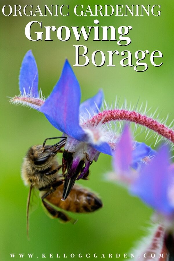 "Bee on a borage flower with text, ""Organic gardening growing borage"""
