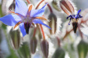 Up close photo of blue borage flowers.