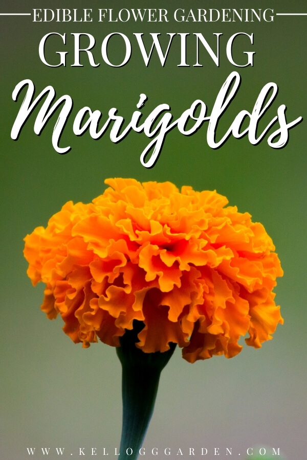 "Close up of an orange marigold with text, ""Edible flower gardening, growing marigolds"""