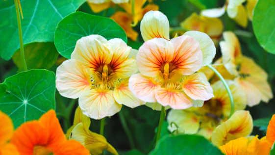blooming yellow and orange nasturtium in garden