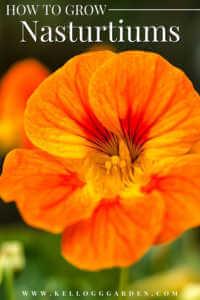 """Close up of an orange Nasturtium with text, """"How to grow Nasturtium"""""""
