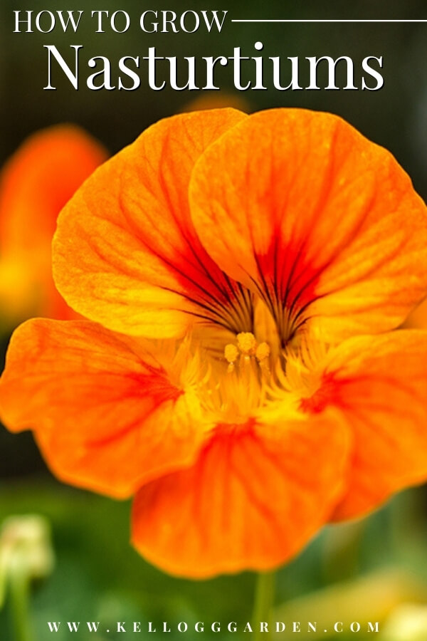 "Close up of an orange Nasturtium with text, ""How to grow Nasturtium"""