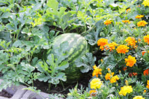 Marigolds and watermelon growing in garden bed.