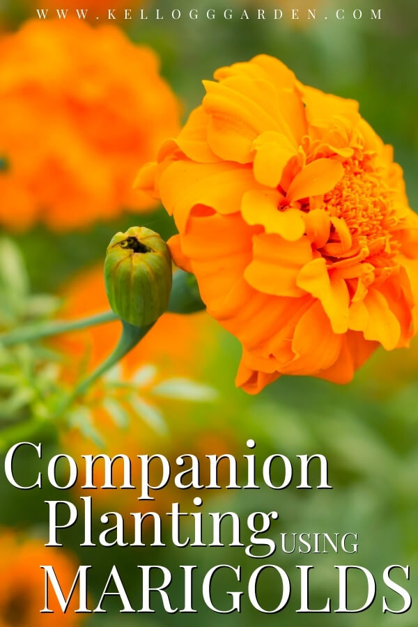 "Orange marigold flower with text, ""Companion planting using marigolds"""
