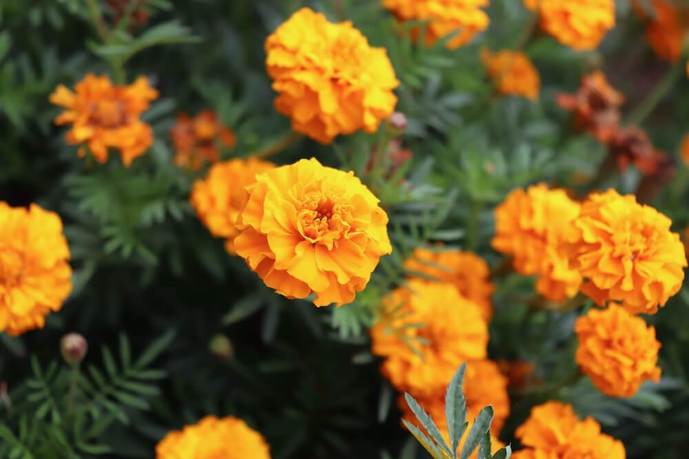 Close up of orange marigold flowers.