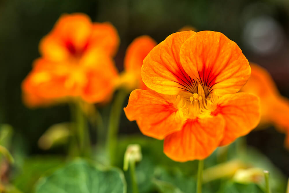 close up of an orange Nasturtium