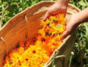 Basket full of orange calendula flowers.