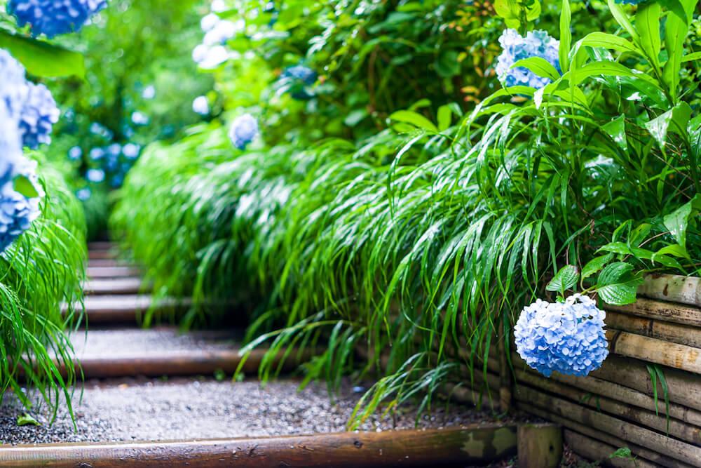 Growing Hydrangeas in the Shade along a walkway.