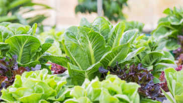 Growing lettuce in a vegetable garden.