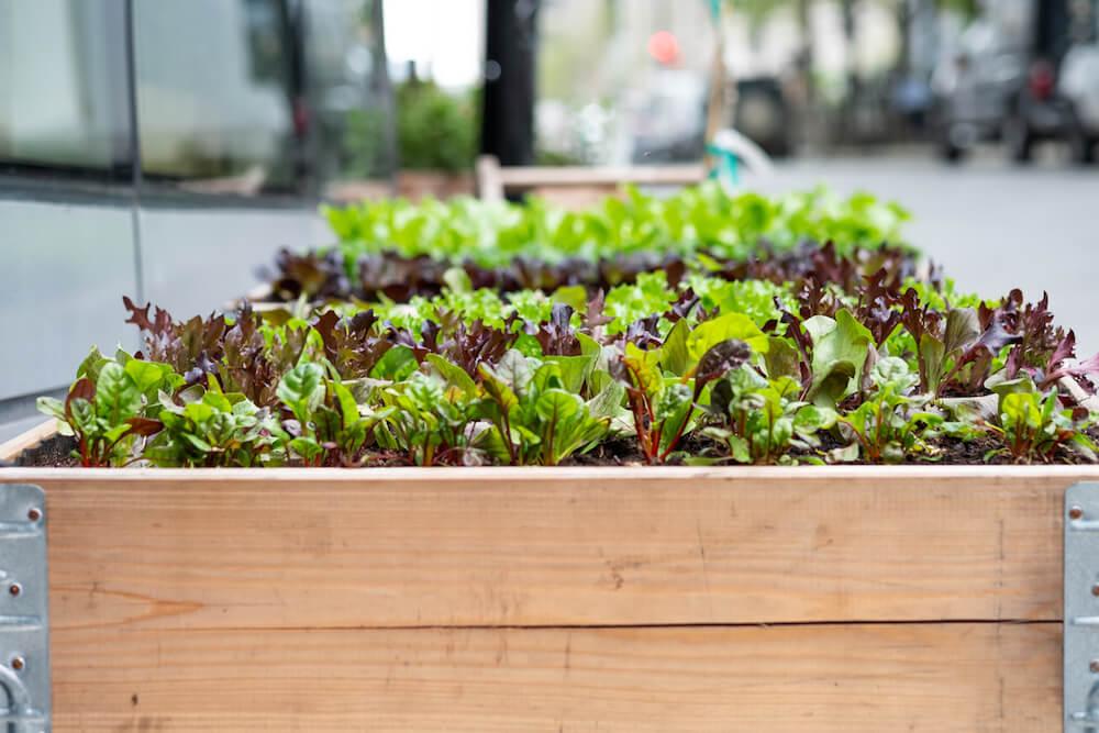 Growing many lettuce varieties in raised beds.