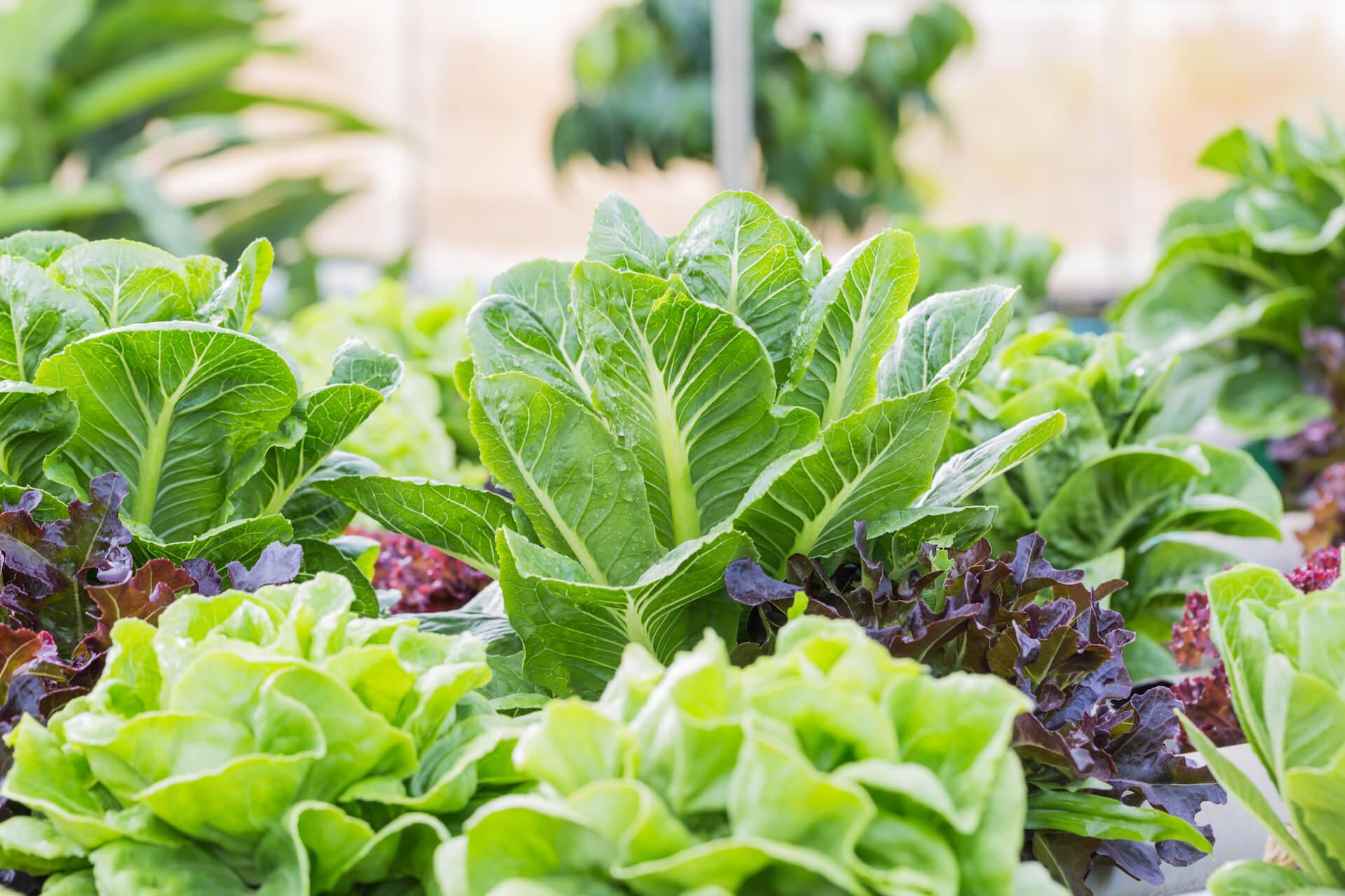 Growing lettuce in a vegetable garden.