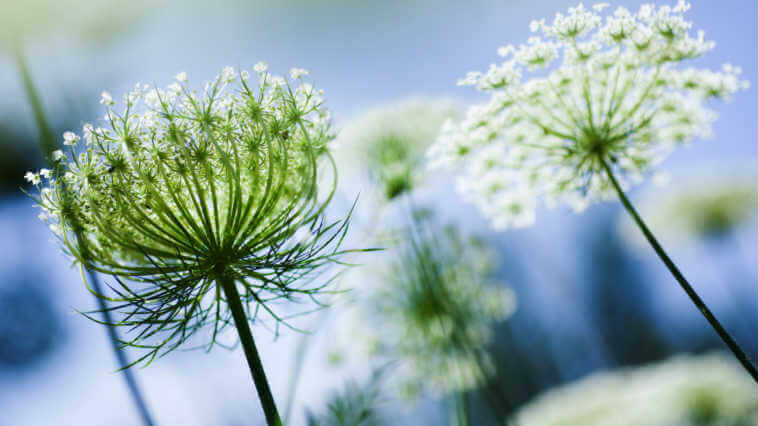 Queen Anne's Lace growing in garden, image capture from below.