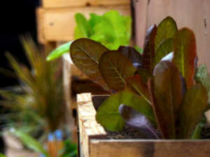 Growing red leaf lettuce in a planter box
