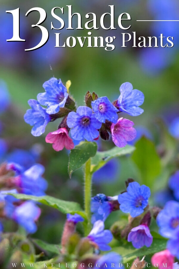 "Close shot of flowering blue and pink Pulmonaria with text, ""13 Shade Loving Plants"""