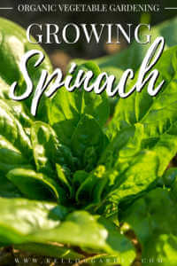 "Spinach growing in the garden with text, ""Organic vegetable gardening, growing spinach"""