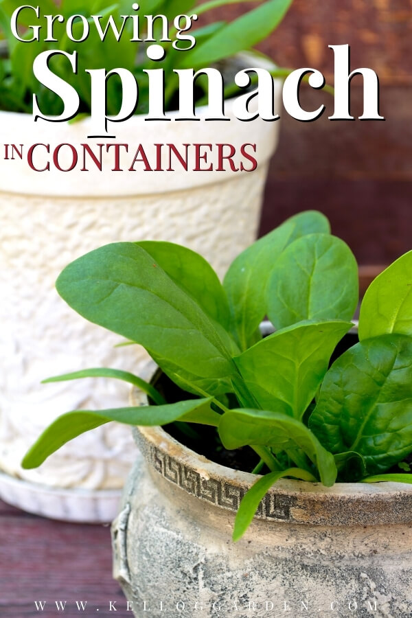 "Growing Spinach in Containers with text, ""Growing Spinach in Containers"""