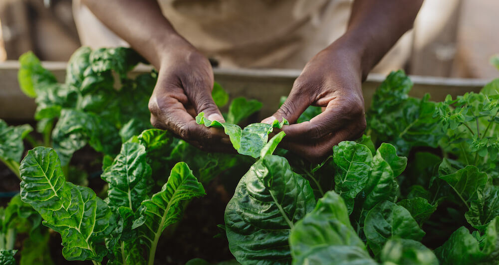 Closeup of an African American woman checking the leaves of spinach plants in her organic vegetable garden