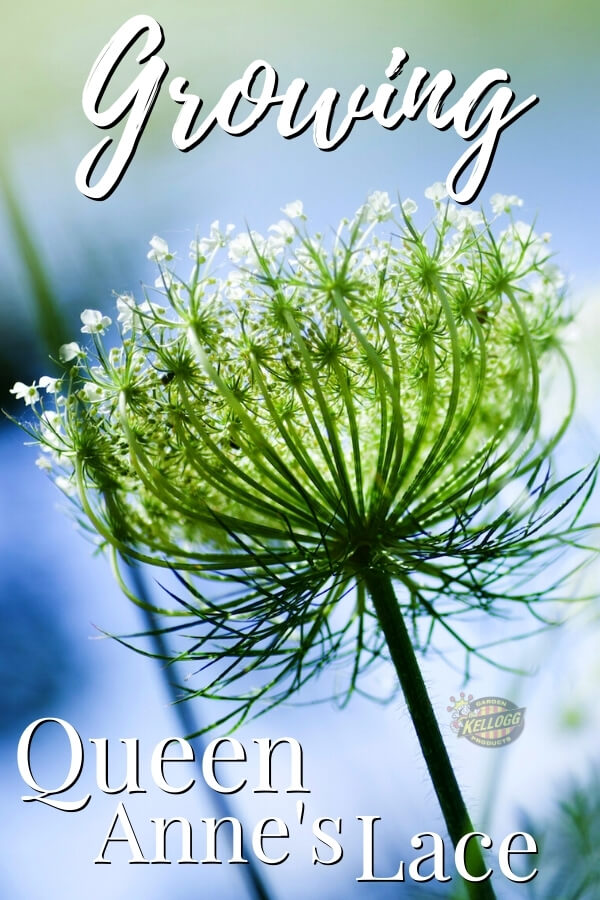 "Queen Anne's Lace growing in garden, image capture from below with text, ""Growing queen anne's lace"""
