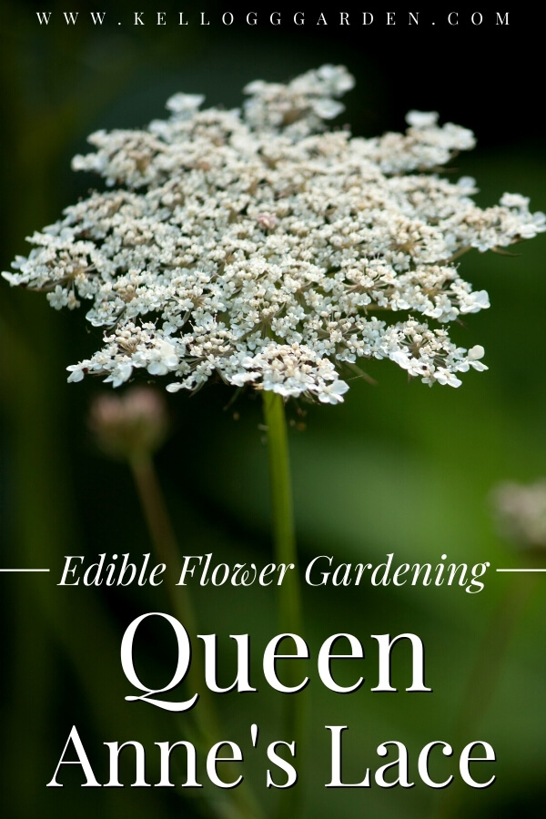 "Isolated queen anne's lace flower with text, ""Edible flower gardening, queen anne's lace"""