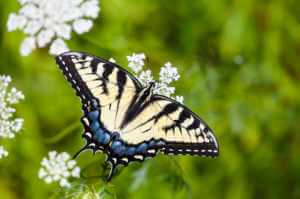 A yellow and black Eastern Tiger Swallowtail butterfly nectaring on white Queen Anne's Lace flowers.